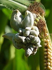 Corn smut - Wikipedia