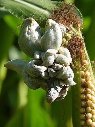 Corn smut - Huitlacoche