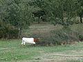 Vaca berrenda en el campo. Valdelazarza.JPG