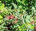 Vaccinium uliginosum subsp. microphyllum at Col de Joux Plane (1).jpg
