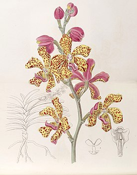 Vandopsis lissochiloides (as Vanda batemannii) - Edwards vol 32 (NS 9) pl 59 (1846).jpg
