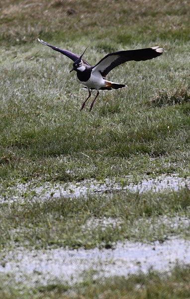 Vanellus vanellus landing; Jamoigne, Belgium.