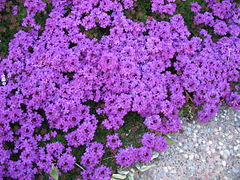 Verbena Purple 1.JPG