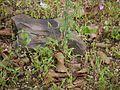 Vernonia cinerea (9937418506).jpg