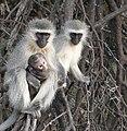 Vervet Monkeys (Cercopithecus pygerythrus) with baby ... (31288872377).jpg