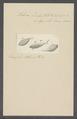 Vibrio linter - - Print - Iconographia Zoologica - Special Collections University of Amsterdam - UBAINV0274 113 11 0011.tif
