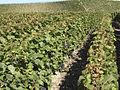 Vigne Pinot Noir (Cerseuil) Cl.J.Weber04 (23651655136).jpg
