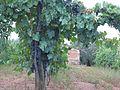 Vino, Nepi, Province of Viterbo, Lazio, Italy - panoramio.jpg