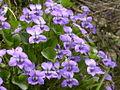 Viola alba (15485318561).jpg