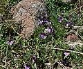Viola beckwithii 1.jpg