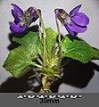 Viola odorata sl1.jpg