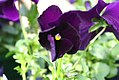 Viola tricolor Dynamite Purple 2zz.jpg