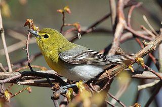 Yellow-throated vireo species of bird