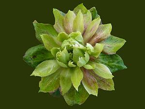 Rosa chinensis - Image: Viridifolia Green Rose