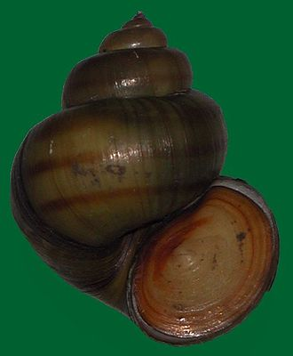 Operculum (gastropod) - Gastropod shell of the freshwater snail Viviparus contectus with corneous operculum in place