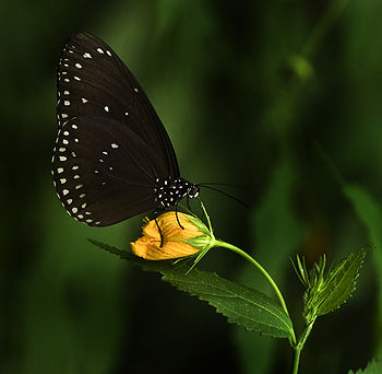 black and white lepidopter on a flower