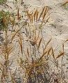 Vulpia fasciculata plant (02).jpg