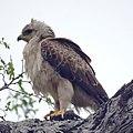 Wahlberg's Eagle (6609722249).jpg