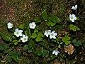 Waldsauerklee Oxalis acetosella-002.jpg