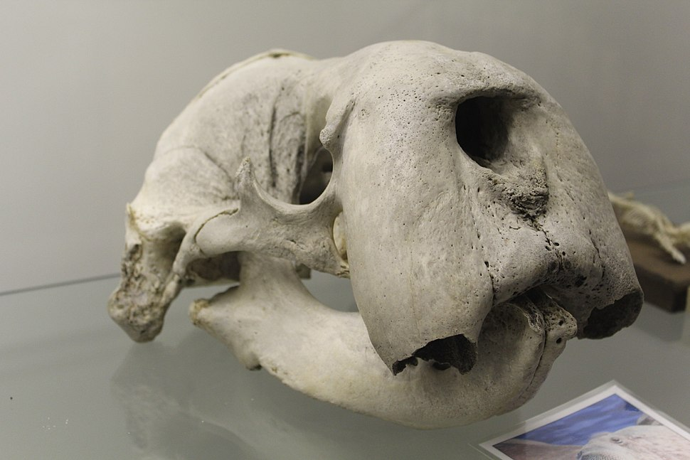 Walrus (Odobenus rosmarus) skull at the Royal Veterinary College anatomy museum