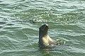 Walvis Bay - Pelican Point - Otaries du Cap 04.jpg