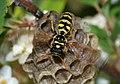 Wasp March 2008-7.jpg