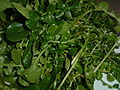 Watercress (1).JPG
