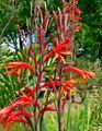 Watsonia fulgens 2.jpg