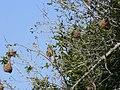 Weaver nests (393954767).jpg