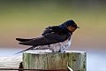 Welcome Swallow (Hirundo neoxena) (8079711933).jpg