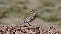 Western Meadowlark (Sturnella neglecta) (5206243357) (2).jpg