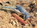 Western Scrub Jay with Corn.jpg