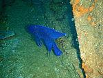 Western blue devil at Cheynes III wreck at Michaelmas Island, Western Australia PC259807.JPG