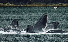 A group of humpback whales breaking the surface, mouths agape, lunge feeding