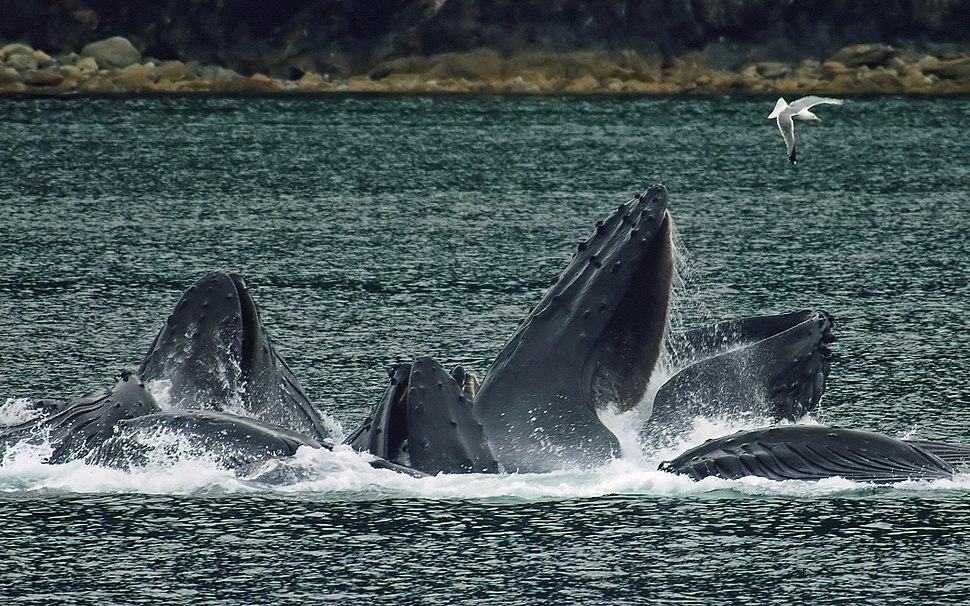Whales Bubble Net Feeding-edit1