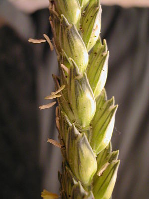 English: Winter wheat (Triticum) ear in France...