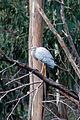 White Faced Heron (Egretta novaehollandiae), Lerderderg Gorge, Victoria Australia (4716382215).jpg
