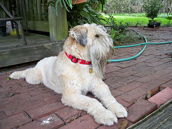 English: Soft Coated Wheaten Terrier