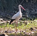 White Stork. Ciconia ciconia - Flickr - gailhampshire.jpg