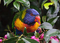 Wild Rainbow Lorikeet feeding on Lili Pilli berries.jpg