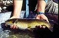 Wild trout project e walker river bridgeport0104 brown trout (25673059113).jpg