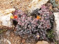 Wildflowers-Richtersveld-PICT2614.jpg