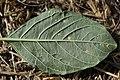 Wilsoniana sp. on Red-root Amaranth - Amaranthus retroflexus (43889045625).jpg