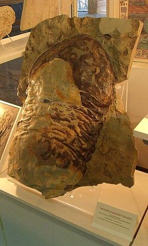 Isotelus - Cast of Isotelus rex
