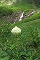 Xerophyllum tenax near Logan Creek (4443649460).jpg