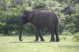 Elefante-do-Ceilão – Wikipédia, a enciclopédia livre