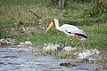Yellow-billed stork - Queen Elizabeth National Park, Uganda-5.jpg