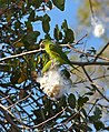 Yellow-chevroned Parakeets (Brotogeris chiriri) eating seeds of Kapok Tree (Pseudobombax tomentosum) (30968779033).jpg
