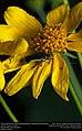 Yellow-sided Flower Buprestid (Buprestidae, Acmaeodera flavomarginata) (31008128806).jpg