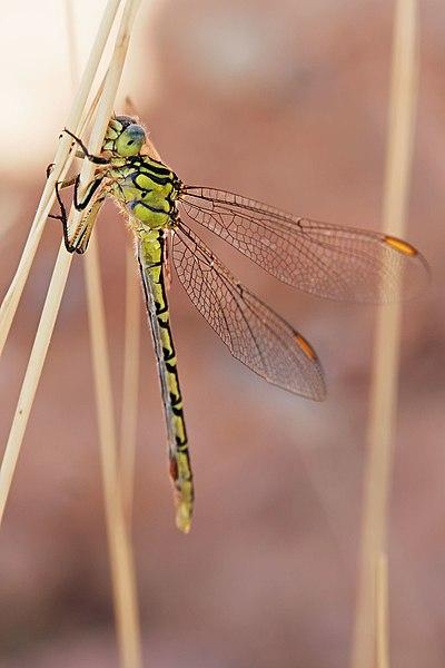 Todo sobre las libélulas [76 fotos HQ]